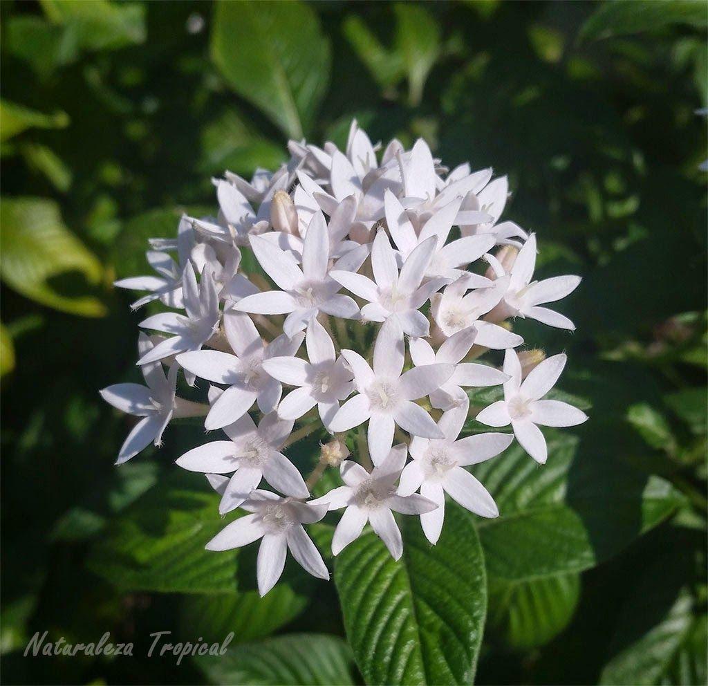 variedad blanca de la planta estrellita de jard n nombre