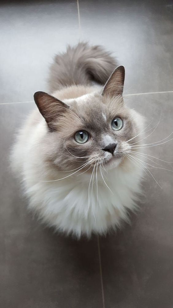 Ragdoll Cats Cat Breed Information, Pictures, Characteristics and Facts