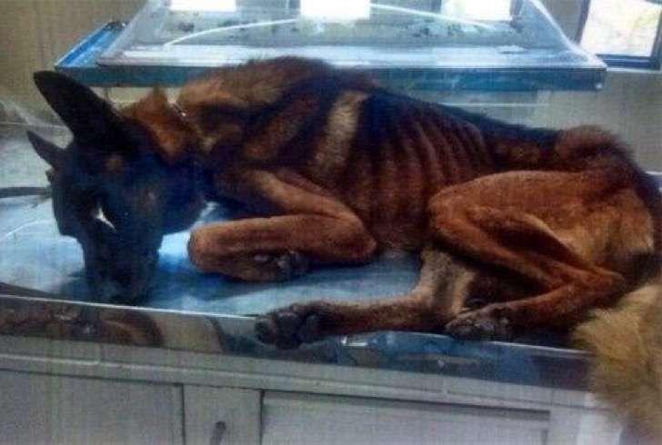 Dos perros policiales desnutridos debieron ser atendidos de urgencia. No creerás el macabro motivo
