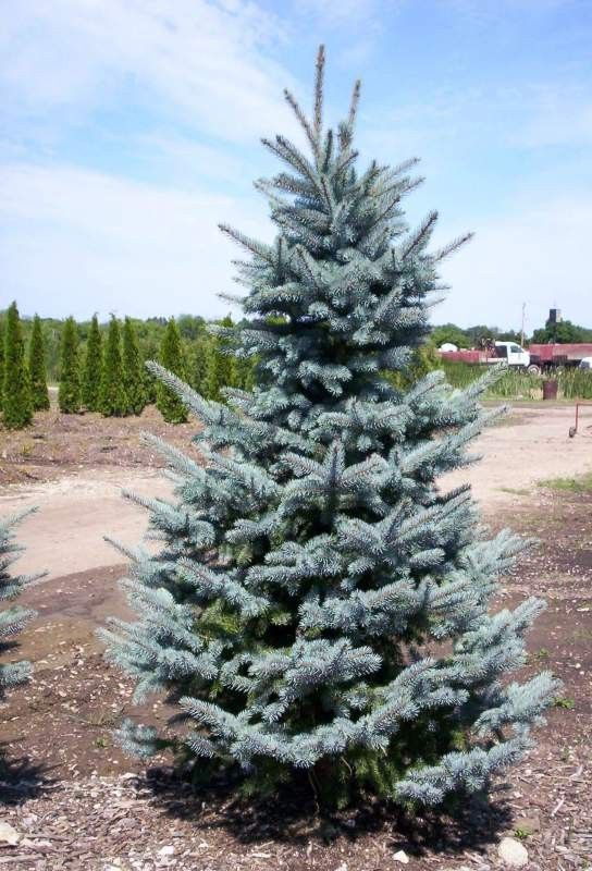 Baby Blue Eyes Blue Spruce Colorado Landscaping Landscape Landscaping Company