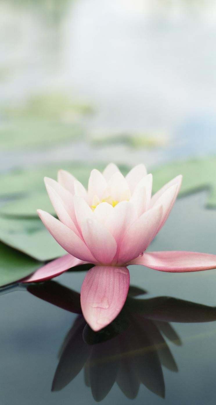 Lotus Flower Phone Wallpaper Phone Wallpapers Pinterest
