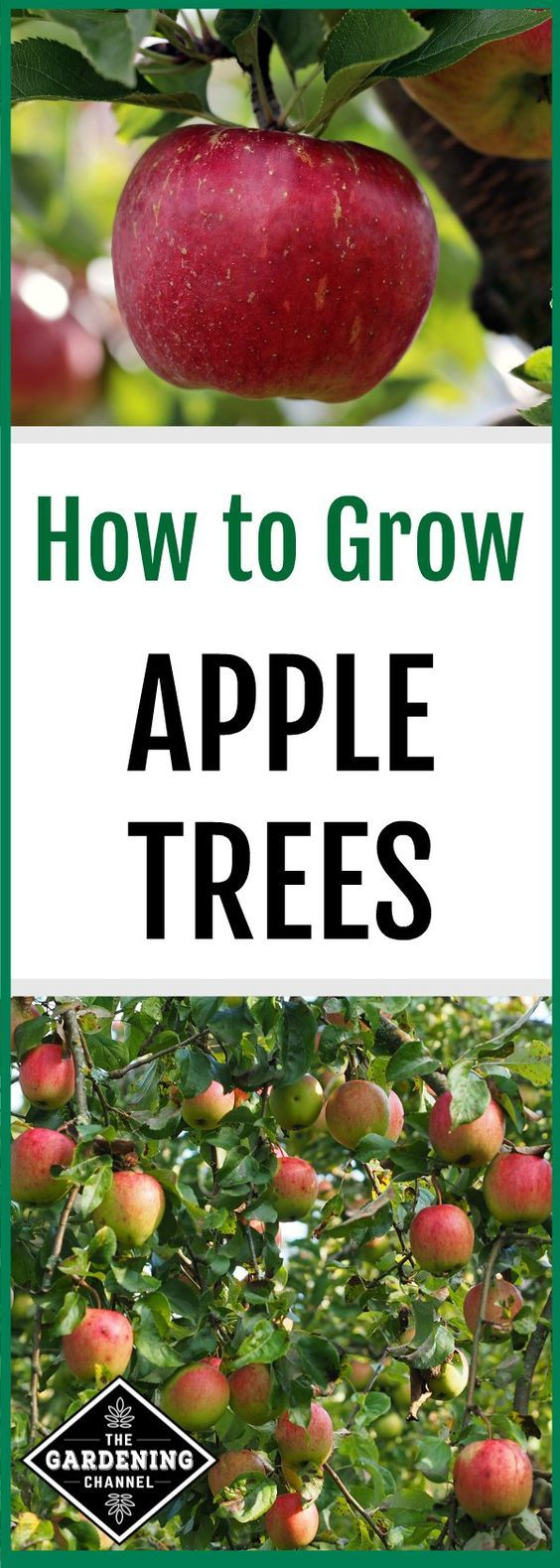 Don't miss these growing tips to grow your own apples with ...