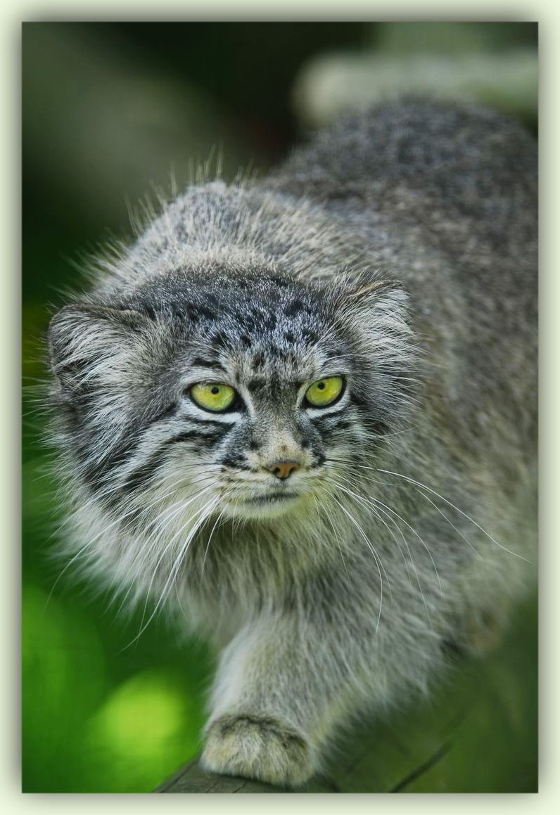 Pallas's Cat (Otocolobus manul) Amazing green eyes on