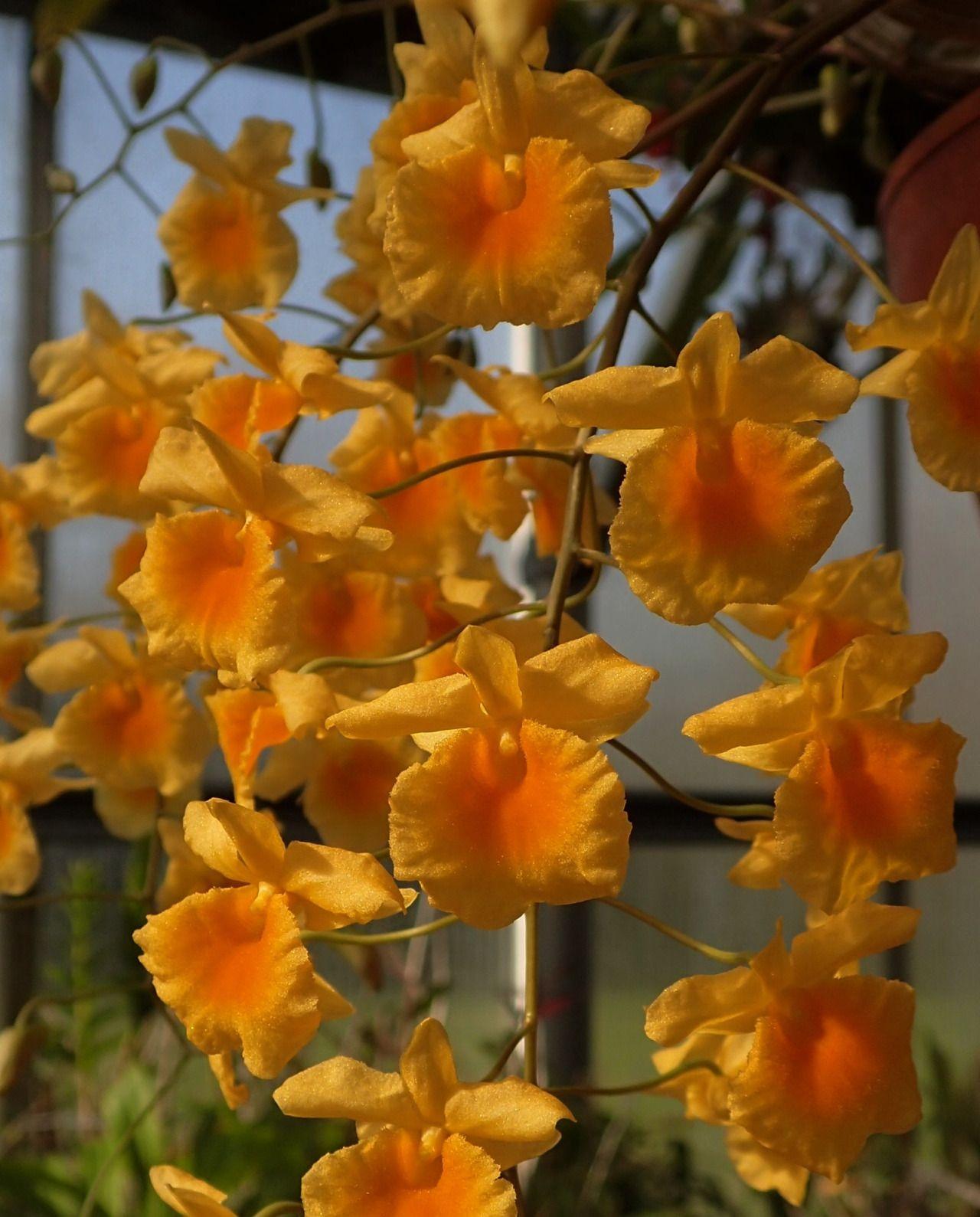 Dendrobium lindleyi Syn.: Dendrobium aggregatum; Callista aggregata; Epidendrum aggregatum; Dendrobium alboviride var. majus; Dendrobium lindleyi var. majus May 14, 2016