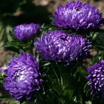 Aster Seeds Callistephus Dwarf Milady Blue Flower Seed Flower Seeds Annual Flowers Aster