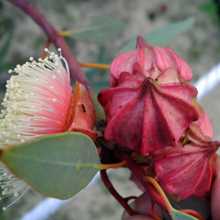 Australian Flowers Eucalyptus And Melaleuca Recherche Google