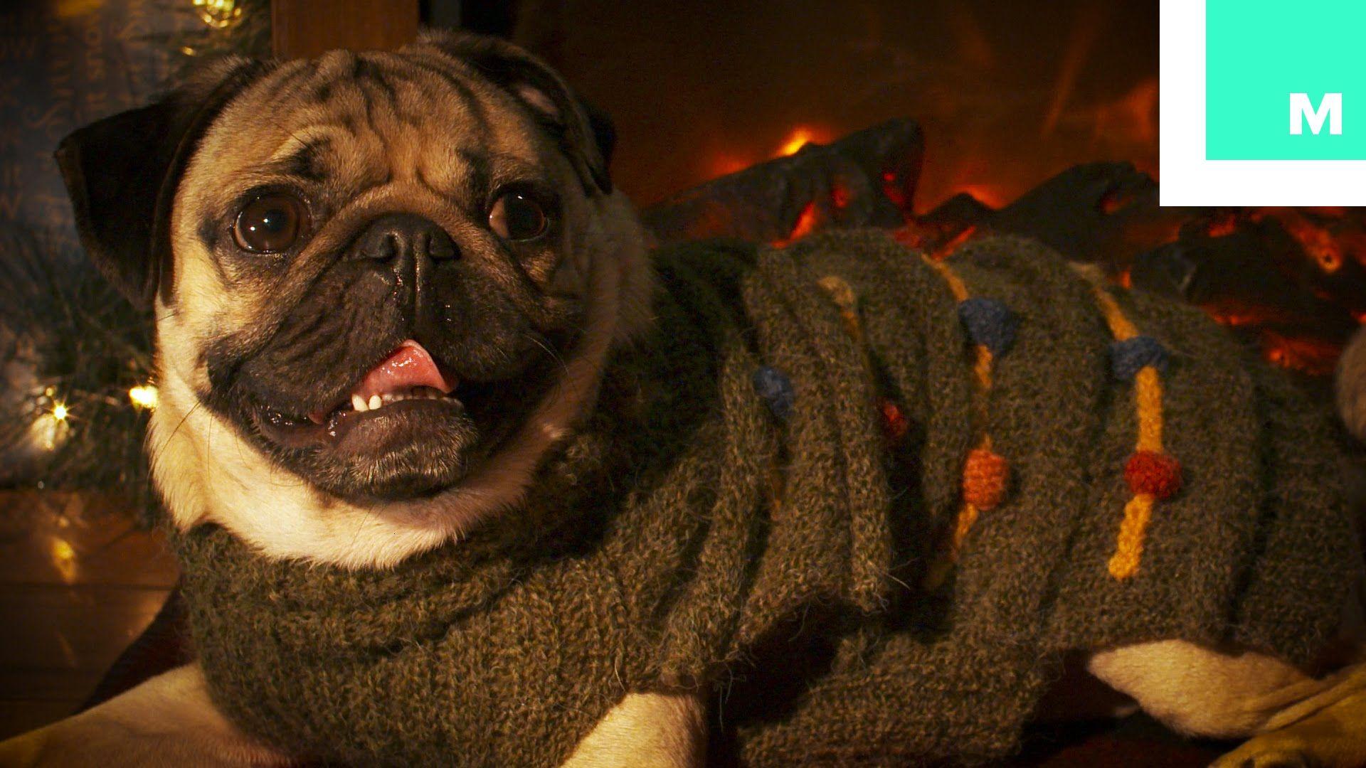 Doug The Pug Holiday Yule Log With Images Doug The Pug Pugs