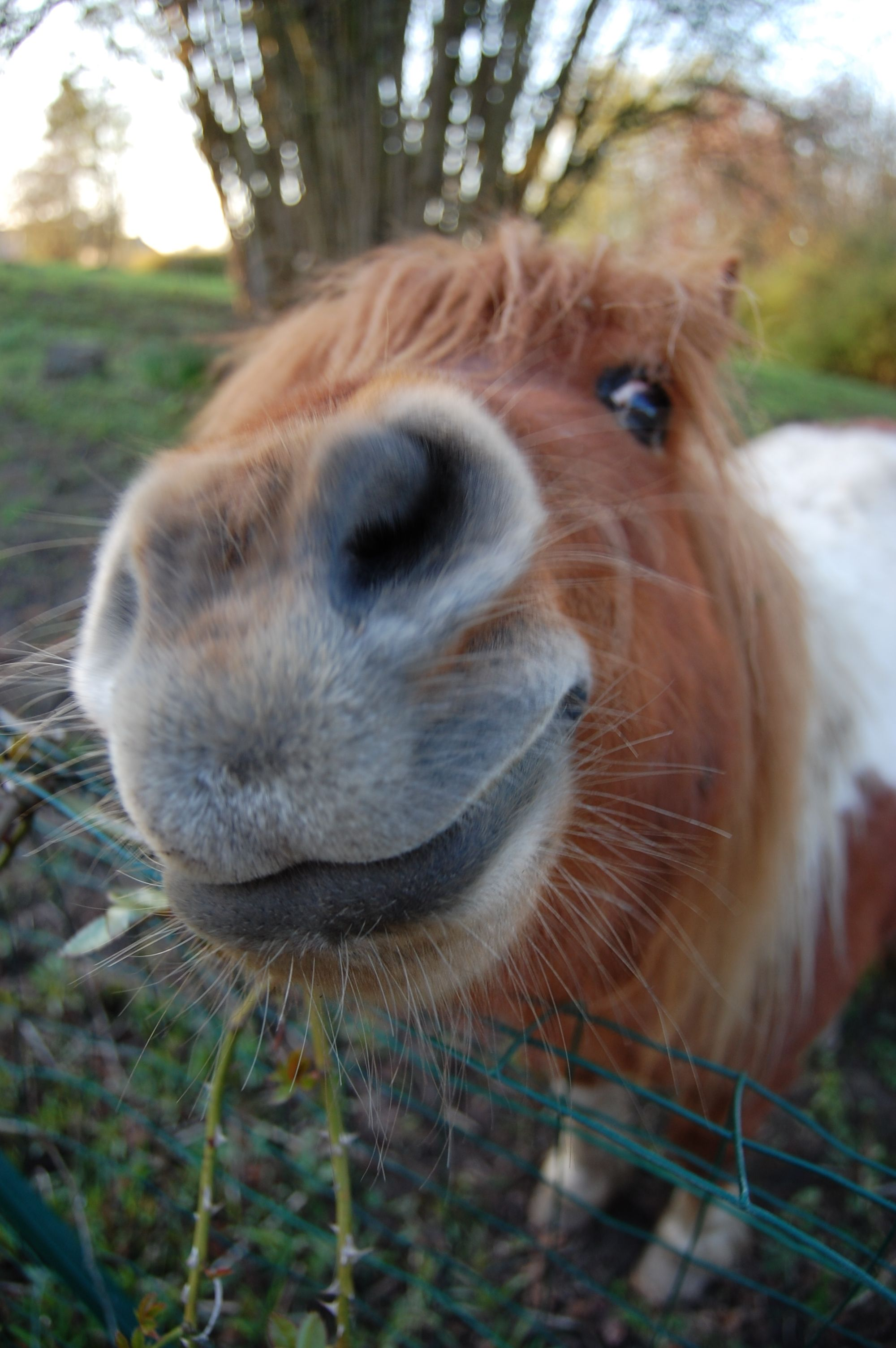 Smile from Rosie,our cheerful shetland pony mare Funny