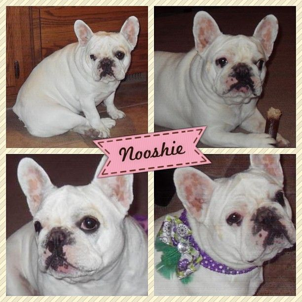 Pin by French Bulldog Rescue Network on FBRN Fosters