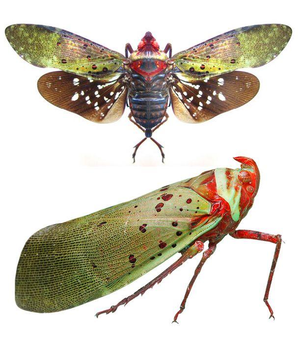 Copidocephala viridiguttata