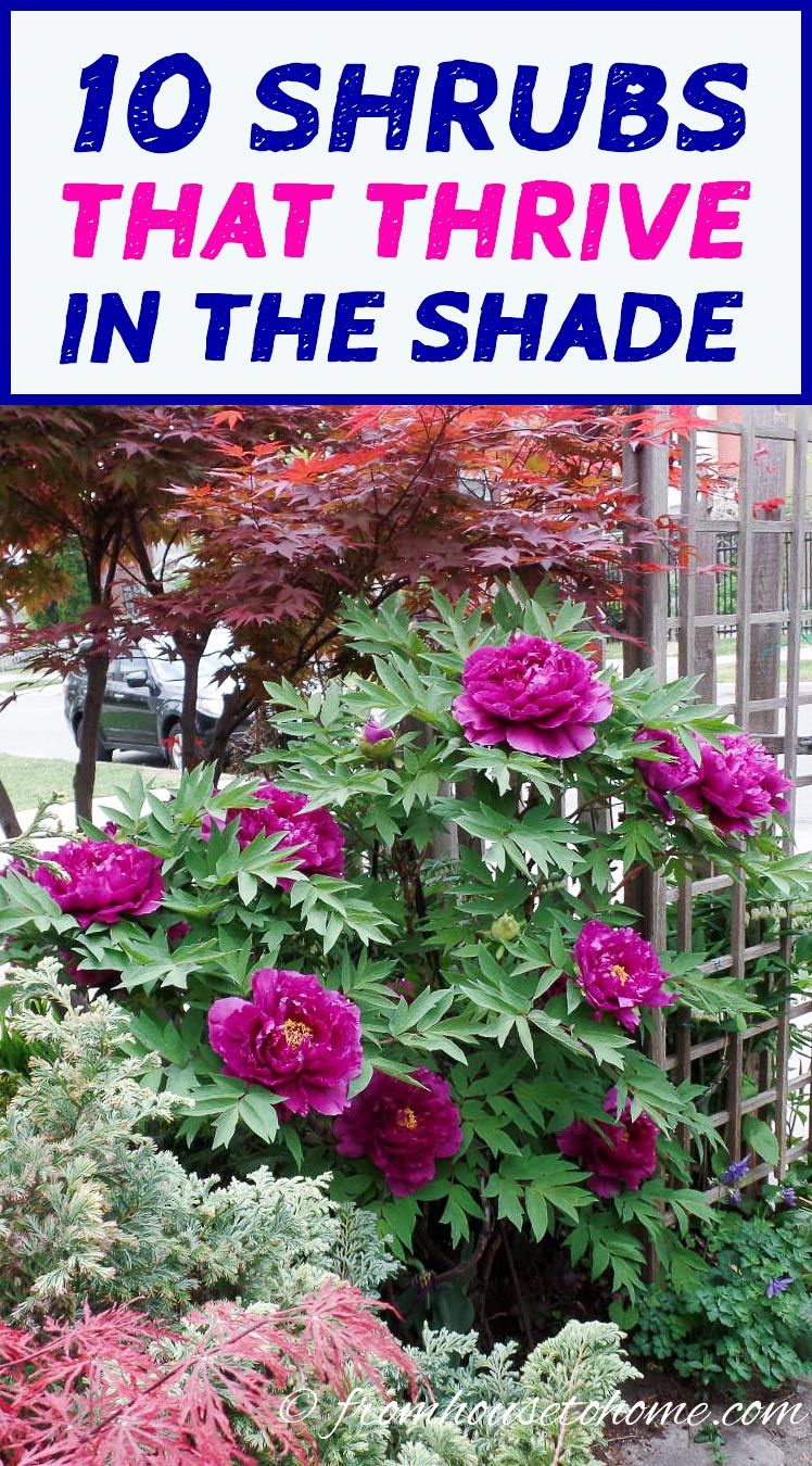 Shade Loving Shrubs 11 Beautiful Bushes To Plant Under