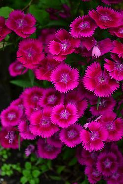 Dianthus also commonly called pinks great border plant and dianthus also commonly called pinks great border plant and pretty reliable mightylinksfo Choice Image