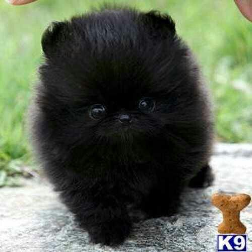 Pomeranian Perfect For My All Black Shih Tzu Pomeranian Puppy