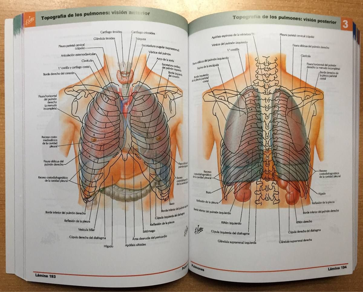 Resultado de imagen para pleura pdf netter   anatomia   Pinterest ...