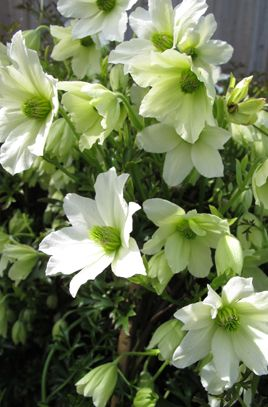 Clematis 'Early Sensation' (Fo/f) | /RHS Gardening                                                                                                                                                                                 More