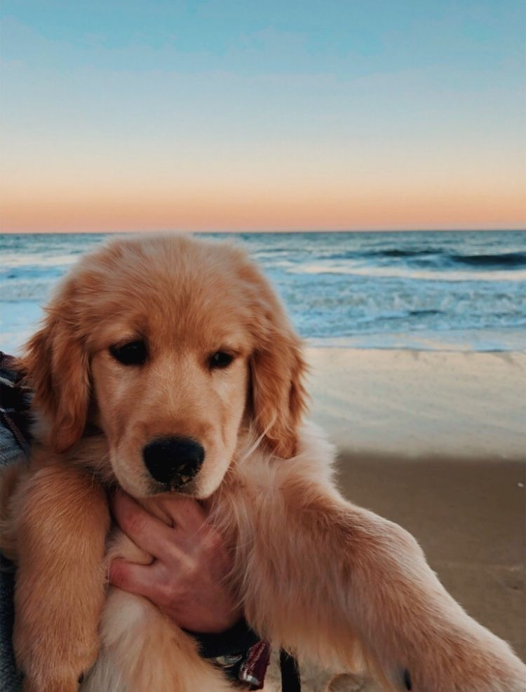 Pinterest Xocadence Goldenretriever With Images Puppies