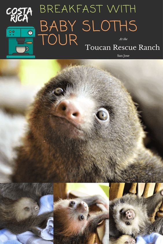 Breakfast with baby sloths Sloth tours | Costa Rica #Breakfast #with #baby #sloths #Sloth #tours #Costa #Rica
