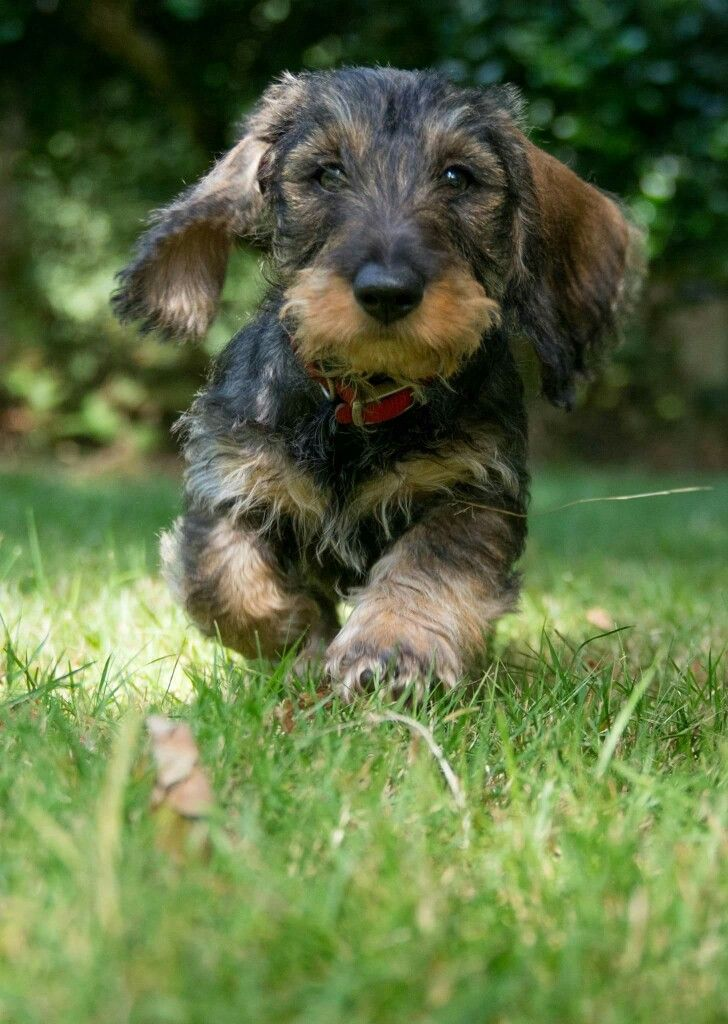 Dachshund Wirehaired This One Is Exactly Like My Jordan Dog