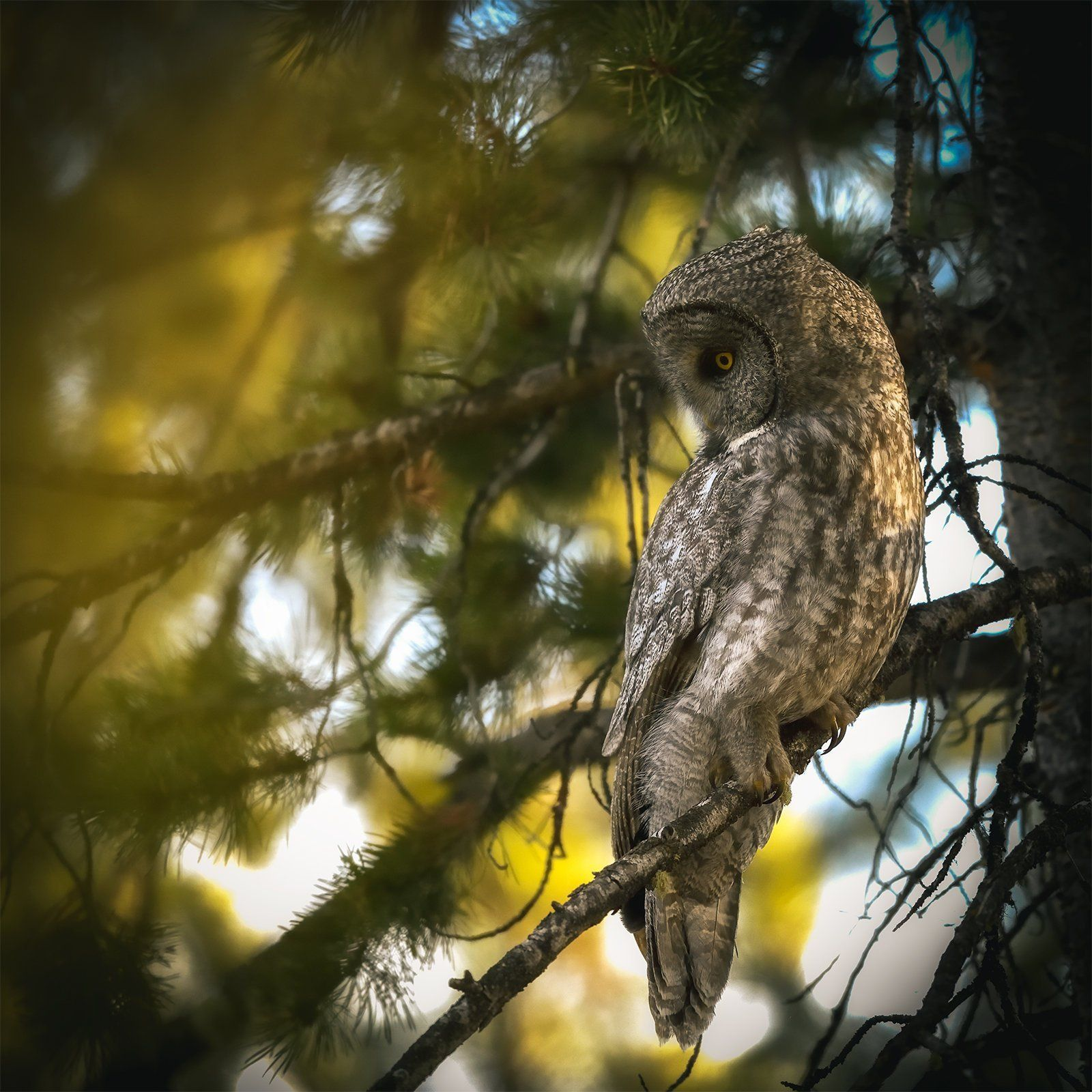 Limited Edition Metal Print Great Grey Owl Bird