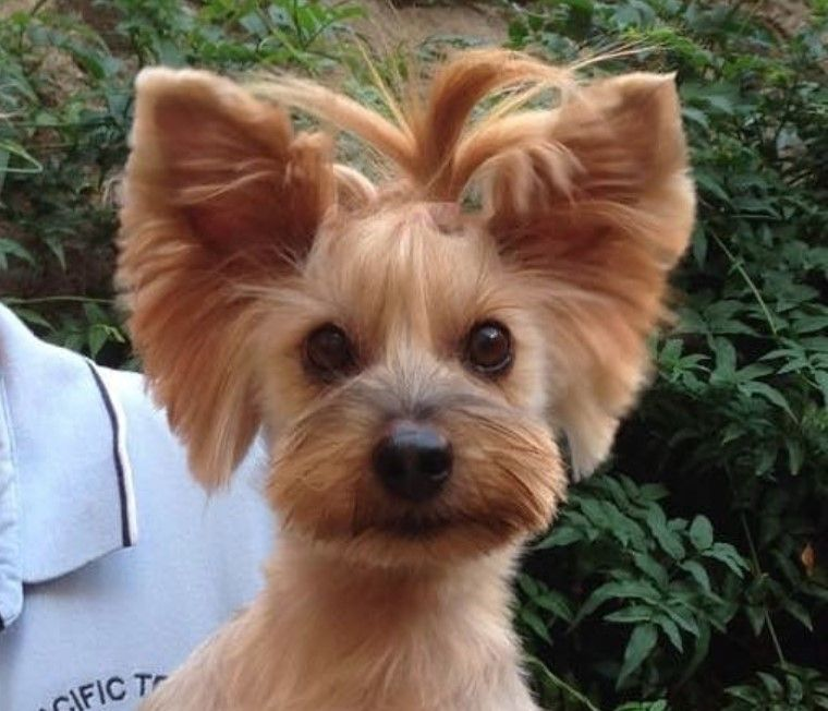 60 Best Yorkie Haircuts For Males And Females Page 6 The Paws