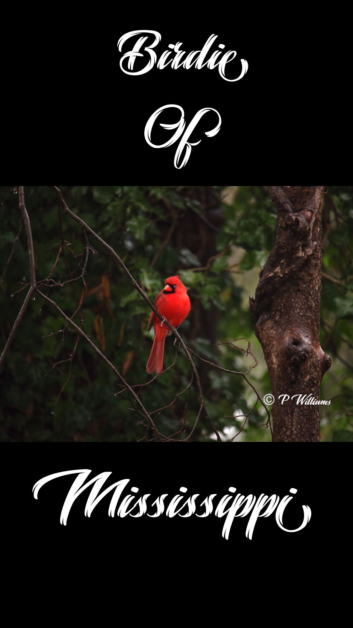 Male Northern Cardinal Bir Ofmississippi Pemwilliams
