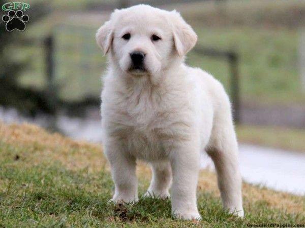 My Puppy Duke Great Pyrenees Anatolian Shepherd Mix Great