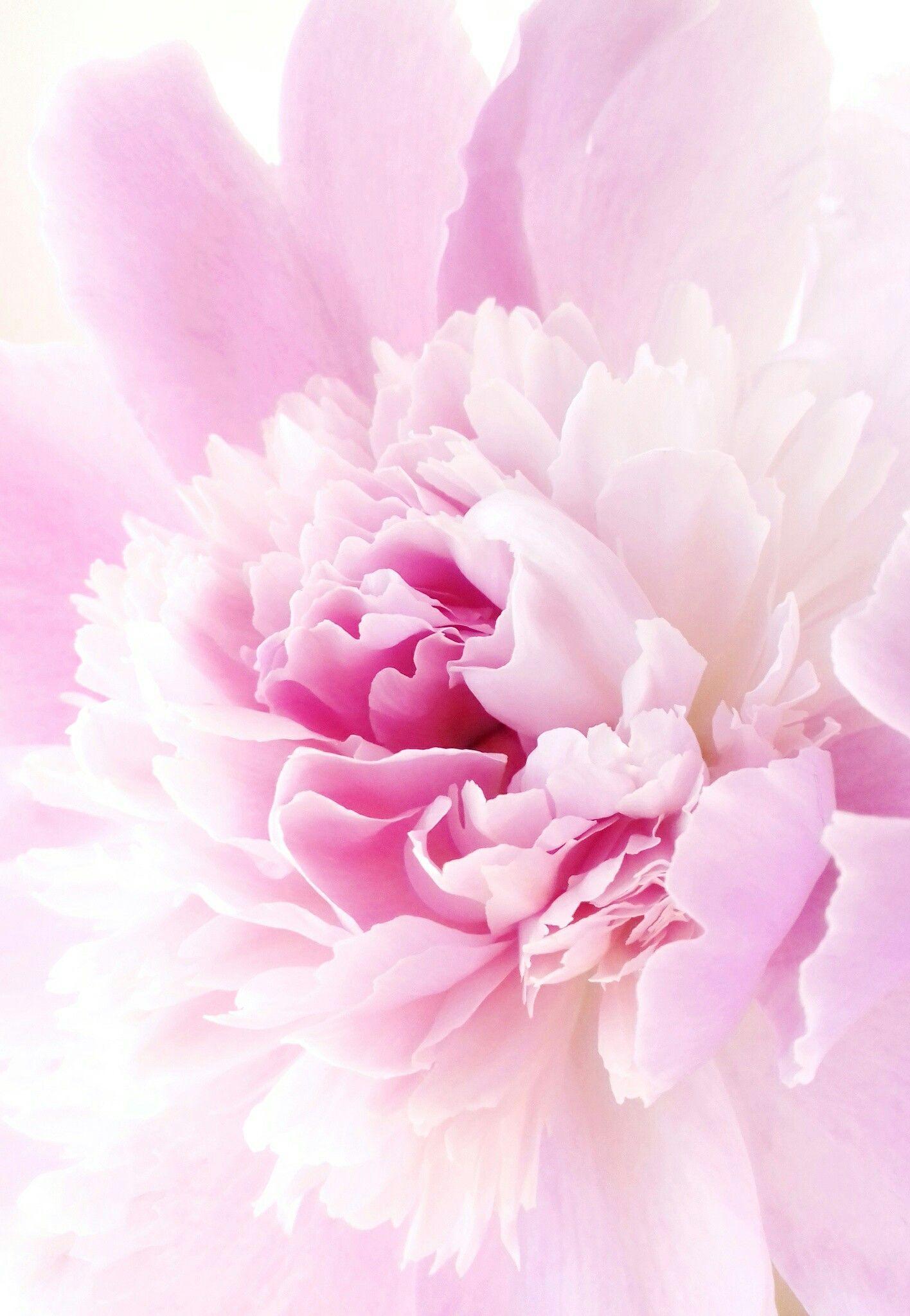 Piony Cvety Fon Flowers S Izobrazheniyami Cvety Piony Cvetok