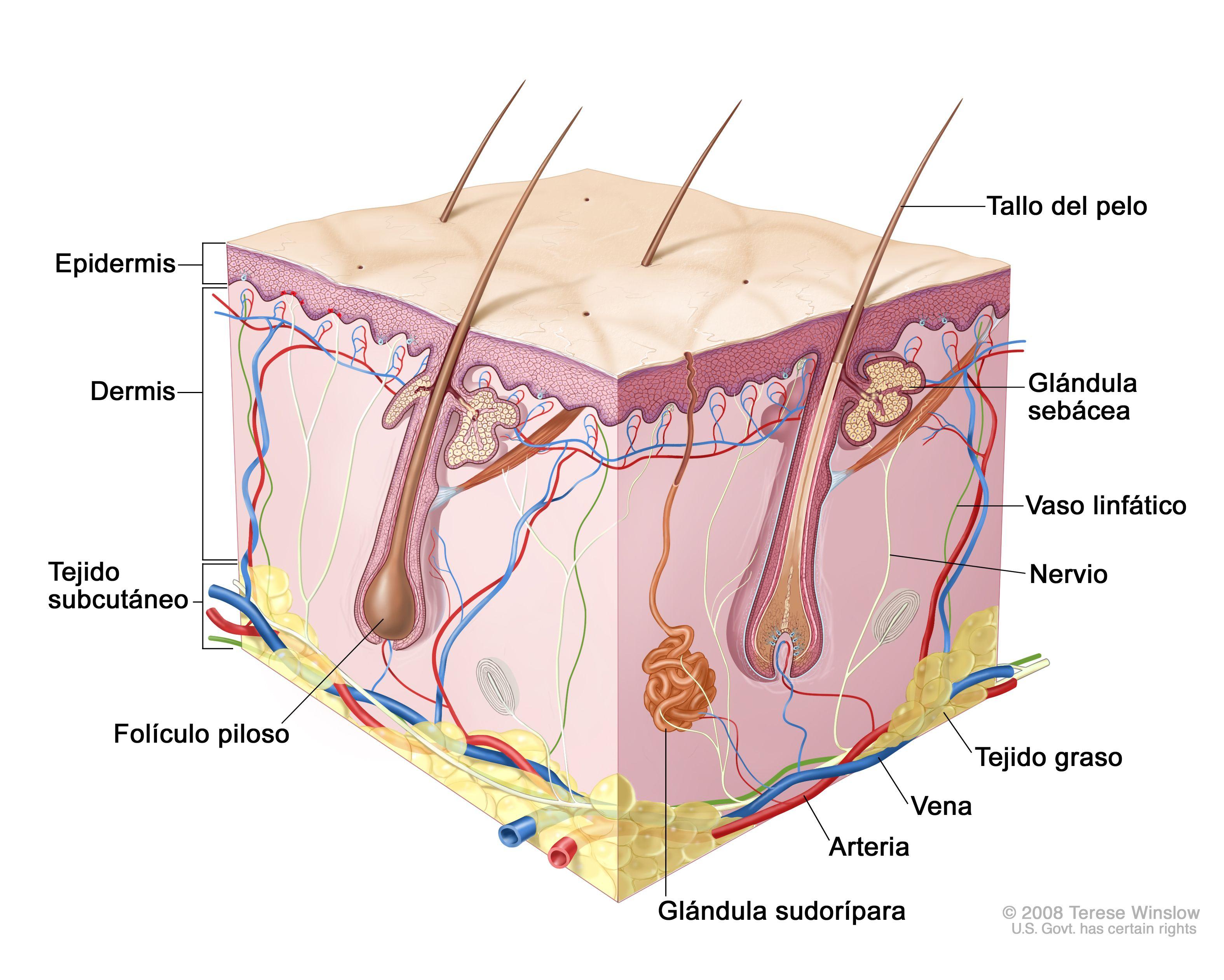 Piel-anatomía y fisiología humana #lapiel #anatomía en esta imagen ...