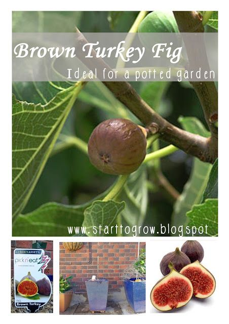 Start To Grow Brown Turkey Fig Growing Fig Trees Fruit Tree Garden Fig Plant