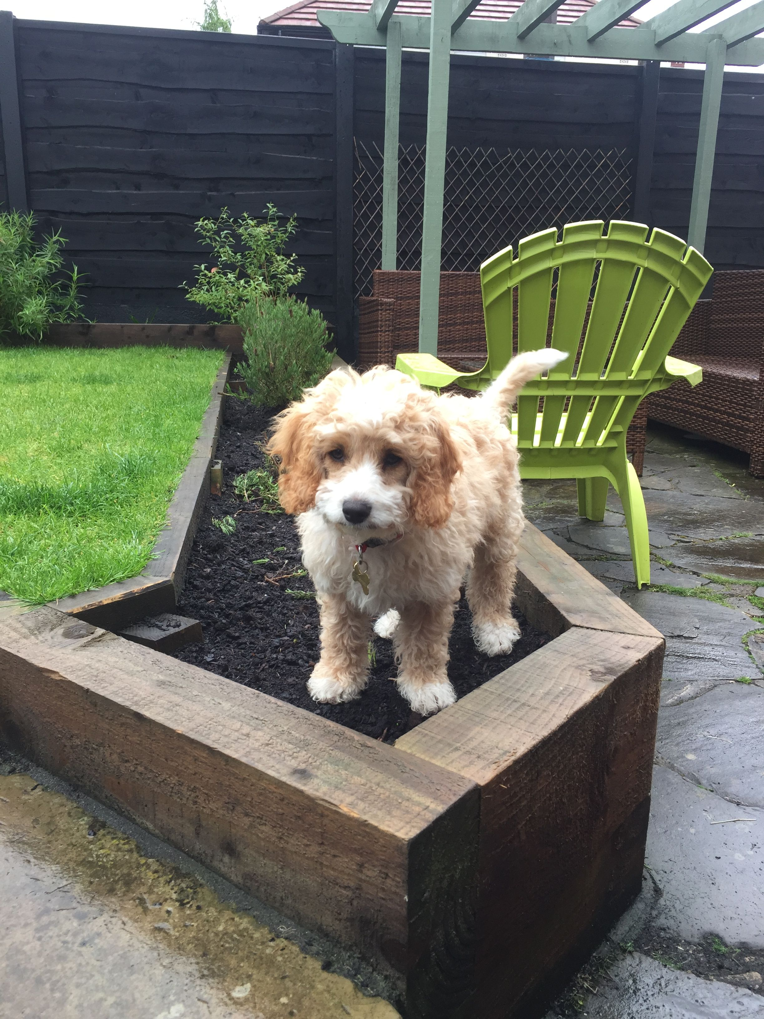 Cavapoochon Puppy At 12 Weeks Loves Digging Up The Garden