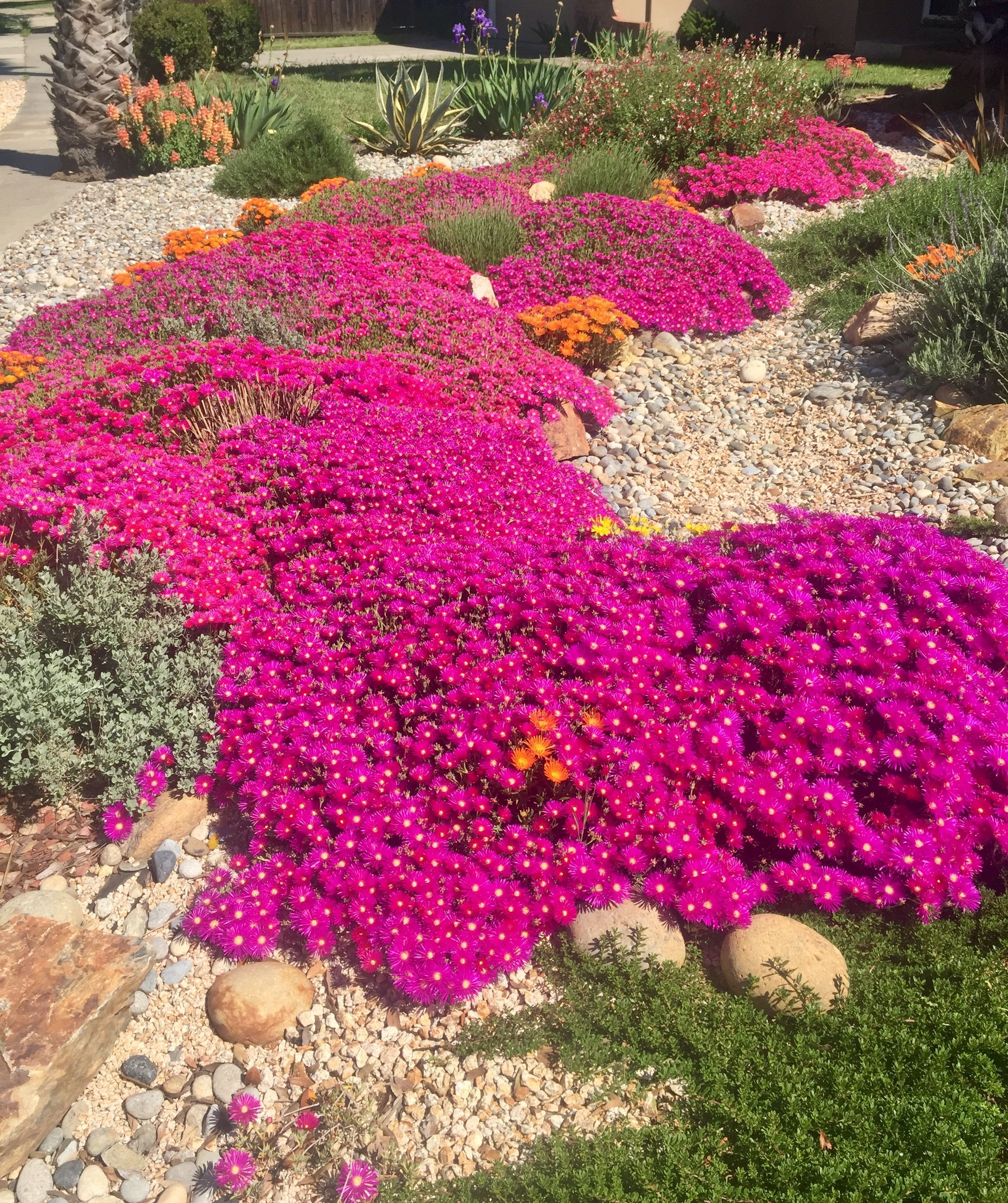 Baby ice plant. Drought tolerant front yard. Drought