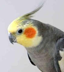 Cockatiels Google Zoeken Cockatiel Pet Birds Cool Pets