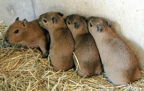 R Guinea Pigs Rodents Capybara they r...