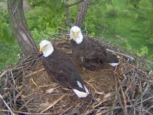 What a great angle they have! Students in the Blair-Taylor school district are monitoring bald eagles Larry and Lucy by webcam. Lucy layed eggs March 2, 2012.