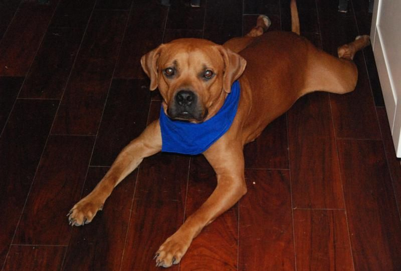 Meet Duke A Petfinder Adoptable Boxer Dog Mendham Nj Duke Is