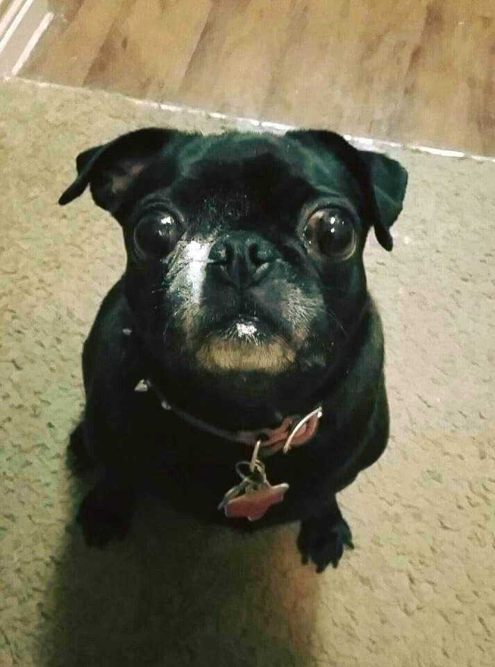 My Adorable Black Pug Phoebe Helping Mommy Bake Cookies Black