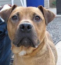 Adopt Mason On Boxer Dogs Dogs Animals