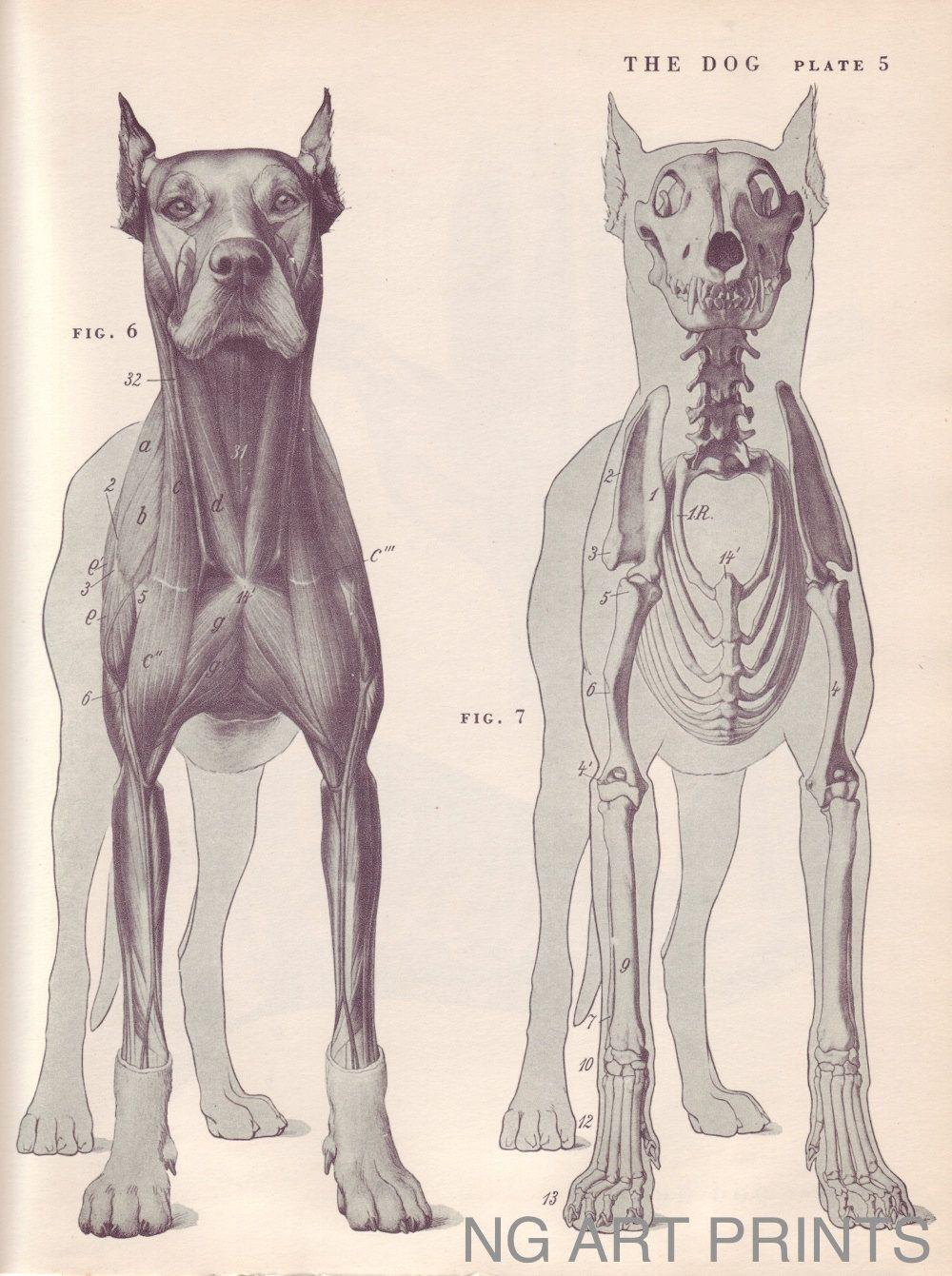 Antique Dog Print, Large Vintage Animal Print, Animal Anatomy, Dog ...