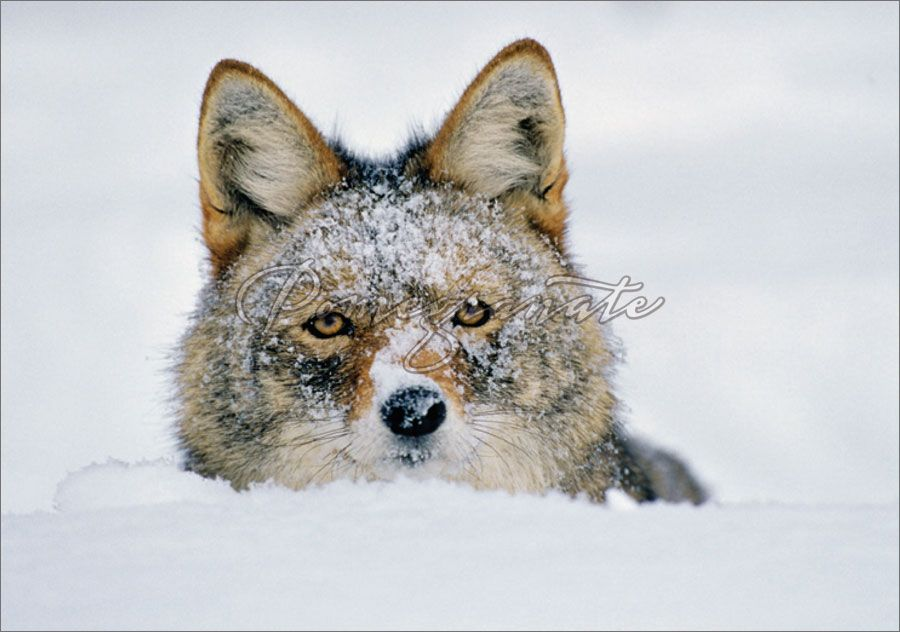 Coyote in Winter Snow Christmas Card Photograph © Tom and Pat Leeson ...