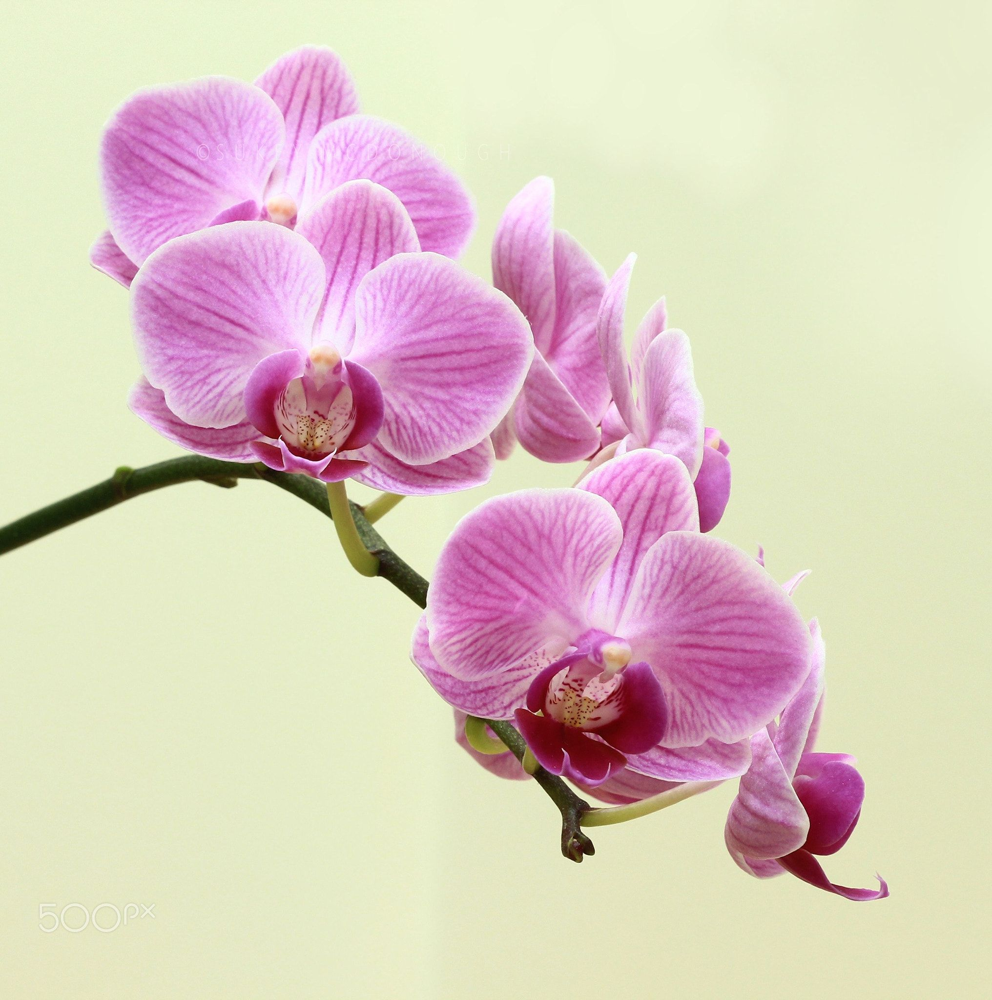 More Blooms And Buds A Little Mini Orchid That Brightens The Room And Brightens Our Day Sue Mcd Orchid Photography Orchids Flowers Photography