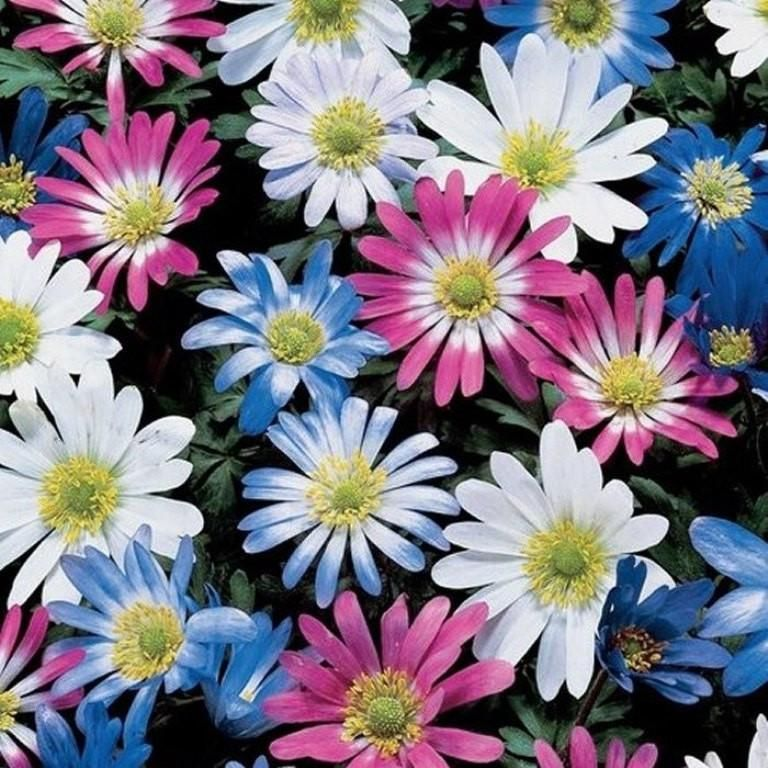 Anemone Windflower Mixed Anemone Blanda Bulbs Hardy Perennial Hardy Perennials Bulb Flowers Spring Flowering Bulbs