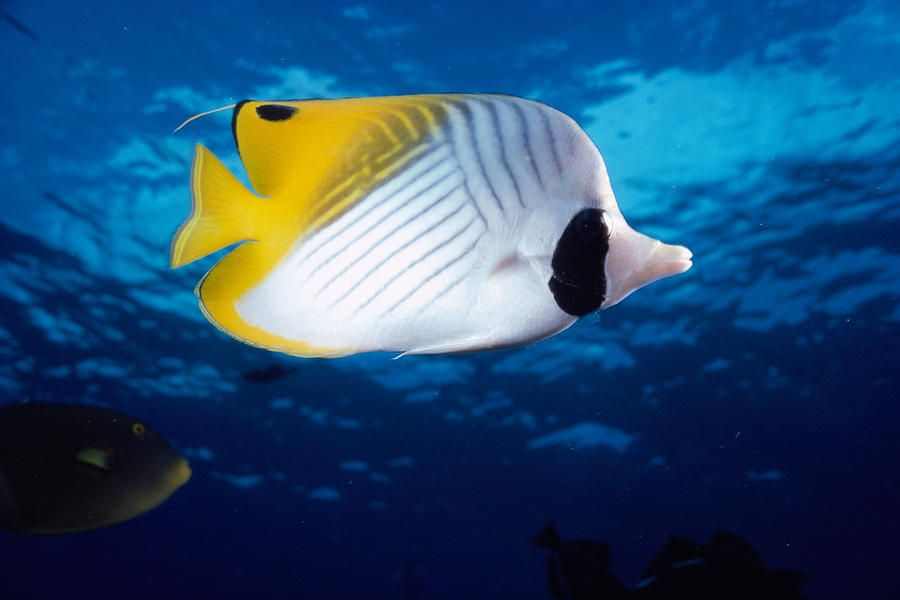Threadfin Butterfly Fish Salzwasserfische Fische