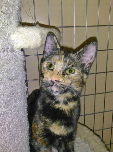 Terra Is A 6 Month Old Tortoiseshell Cat Who Is Very Loving And Outgoing She D Talkative And Gets Along Great Wi Pets Animal Welfare League Tortoise Shell Cat