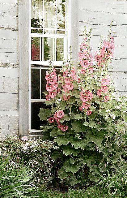 Hollyhock Shed                                                                       Hollyhock Shed is part of Garden -