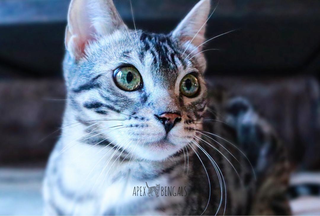 Apex Bengals Stardust Bengal Kittens For Sale Bengal Kitten Bengals