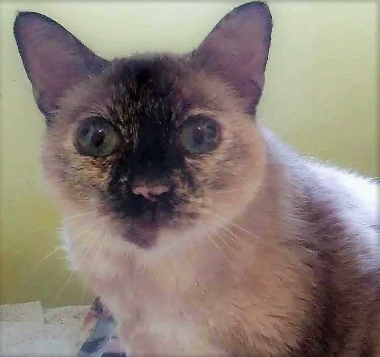Adopt Abby On Purebred Cats Cats Siamese Cats