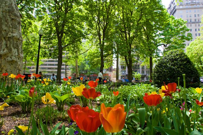 The first tulips are beginning to bloom in Rittenhouse Square in Philadelphia. (Photo by J. Smith for GPTMC)