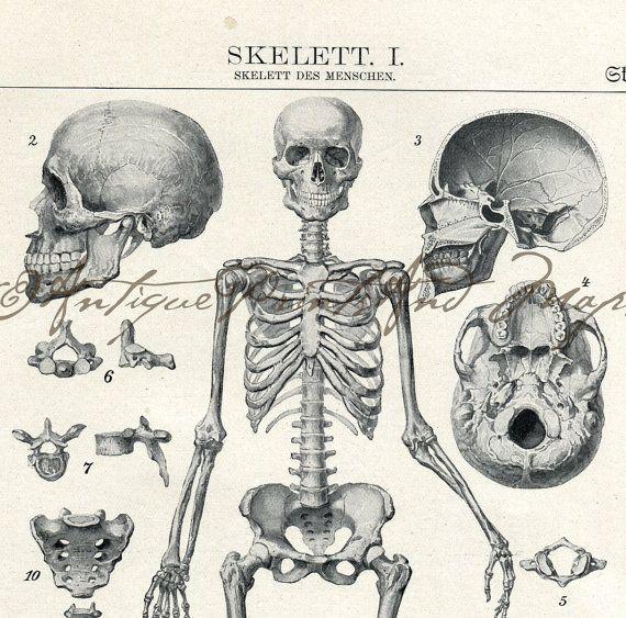 human skull anatomy print 9 x 12 drawing vintage 1941 by agedpage, Skeleton
