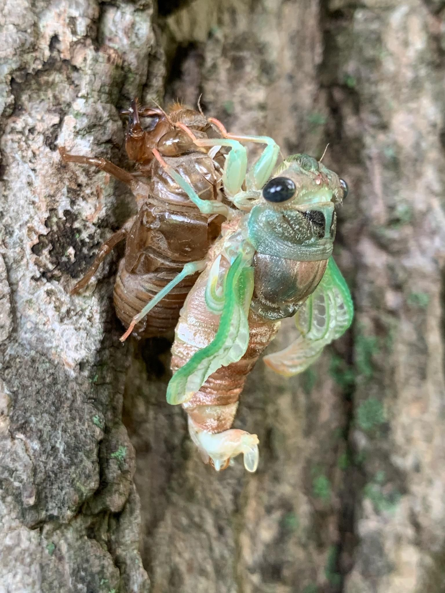 A Cicada molting it's exoskeleton after years of living