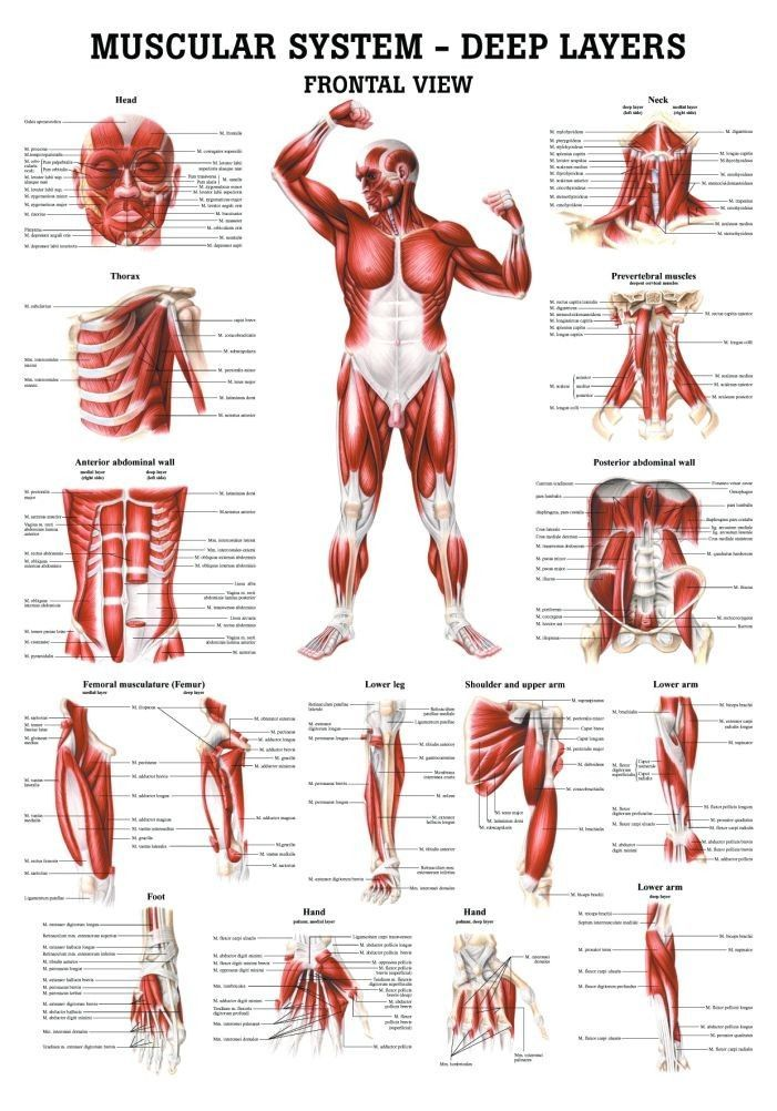 The Muscular System - Deep Layers, Front -- Anatomy Chart #anatomy ...